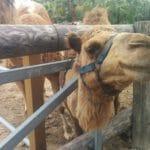 פארק הגמלים בכפר מזוטוס ליד לרנקה
