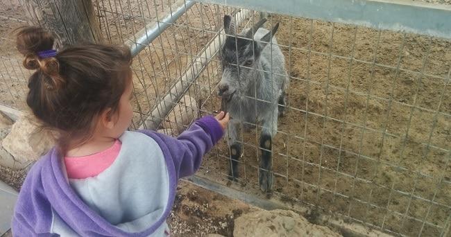 ילדה מאכילה עז בפארק הגמלים