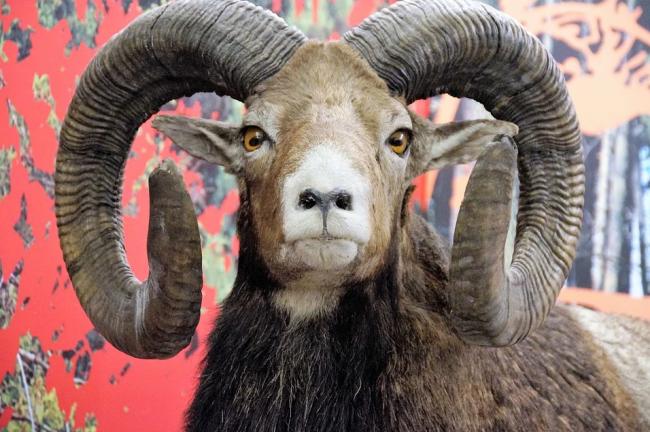 כבש-המופלון