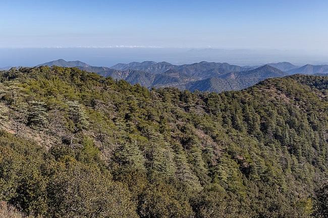 עצי ארז ואורנים במורדות הר טריפילוס, עמק הארזים, הרי טרודוס, קפריסין